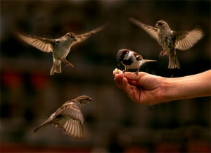 Sparrows on a human hand